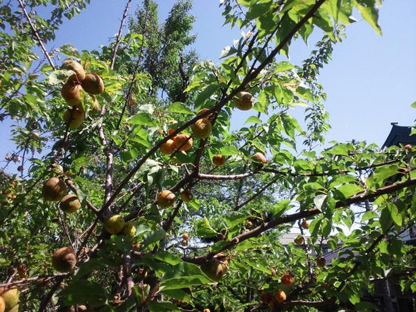 杏酢をつくる